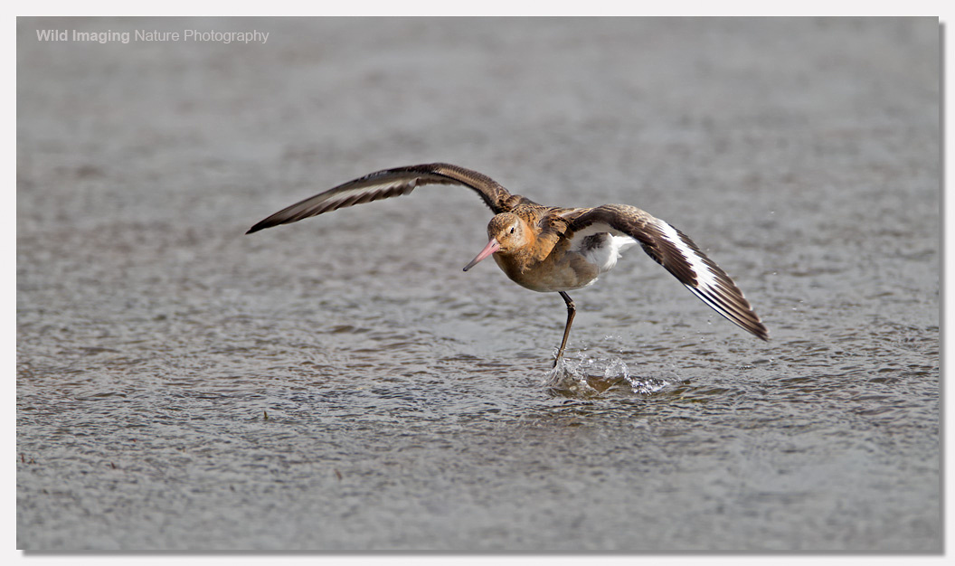 Black-tailed godwit 3