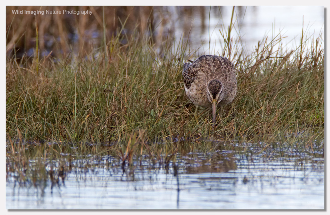 Short-billed dowitcher 2