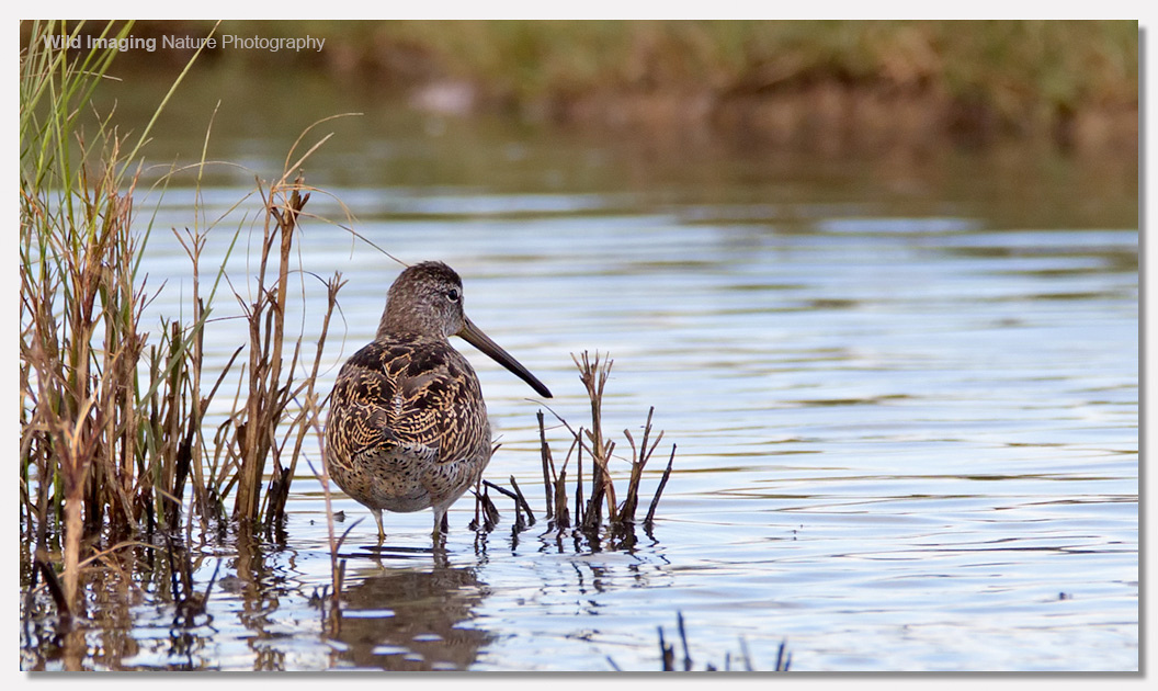Short-billed dowitcher 3