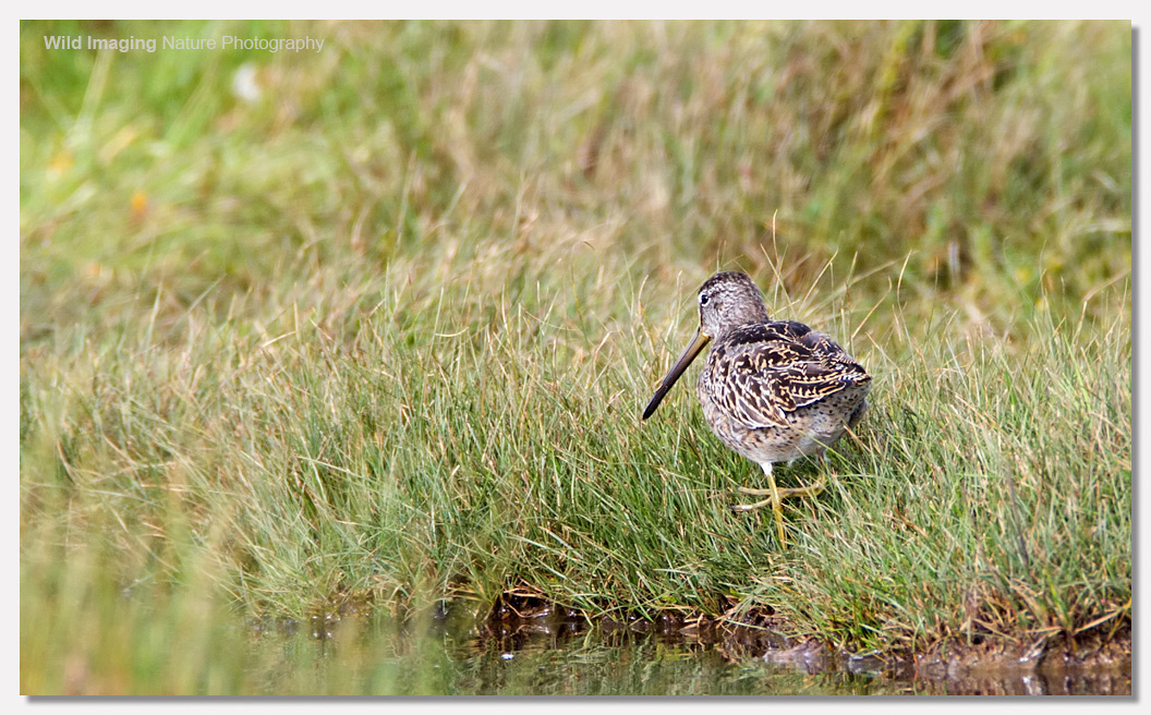 Short-billed dowitcher 4