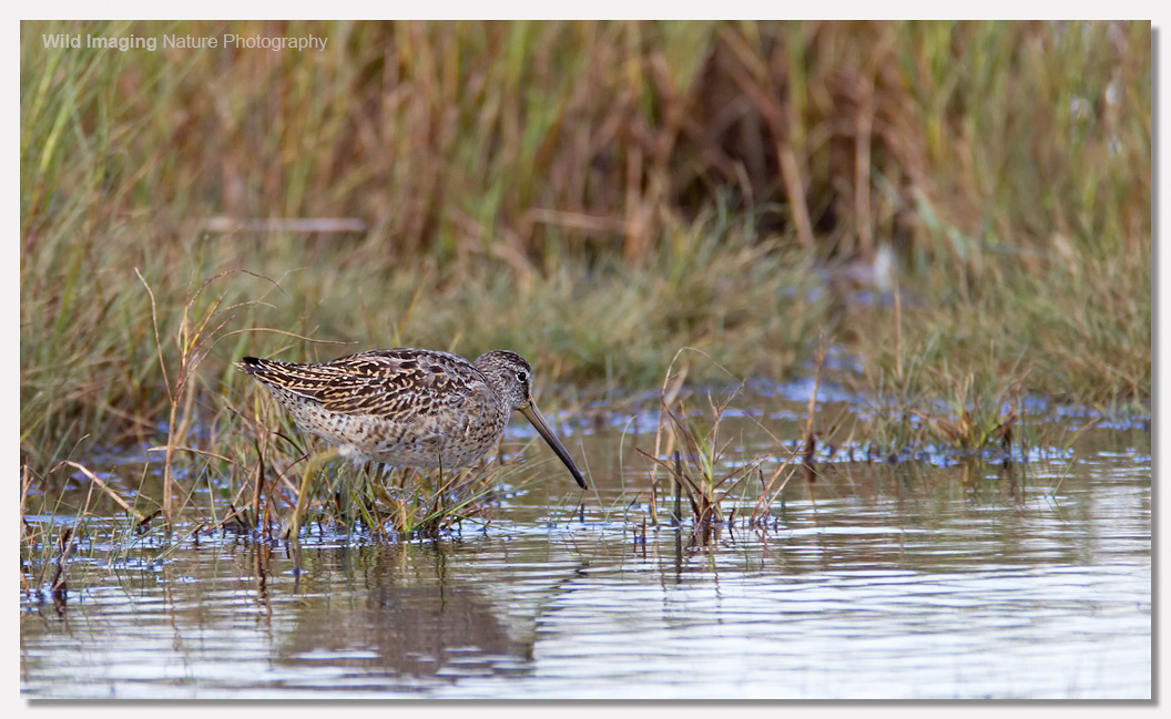 Short-billed dowitcher 1