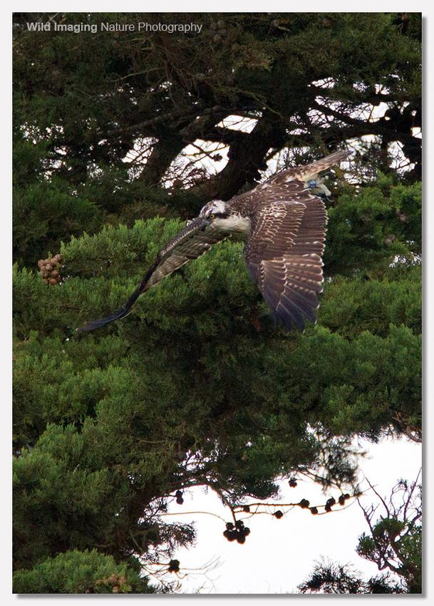 Osprey dive 2