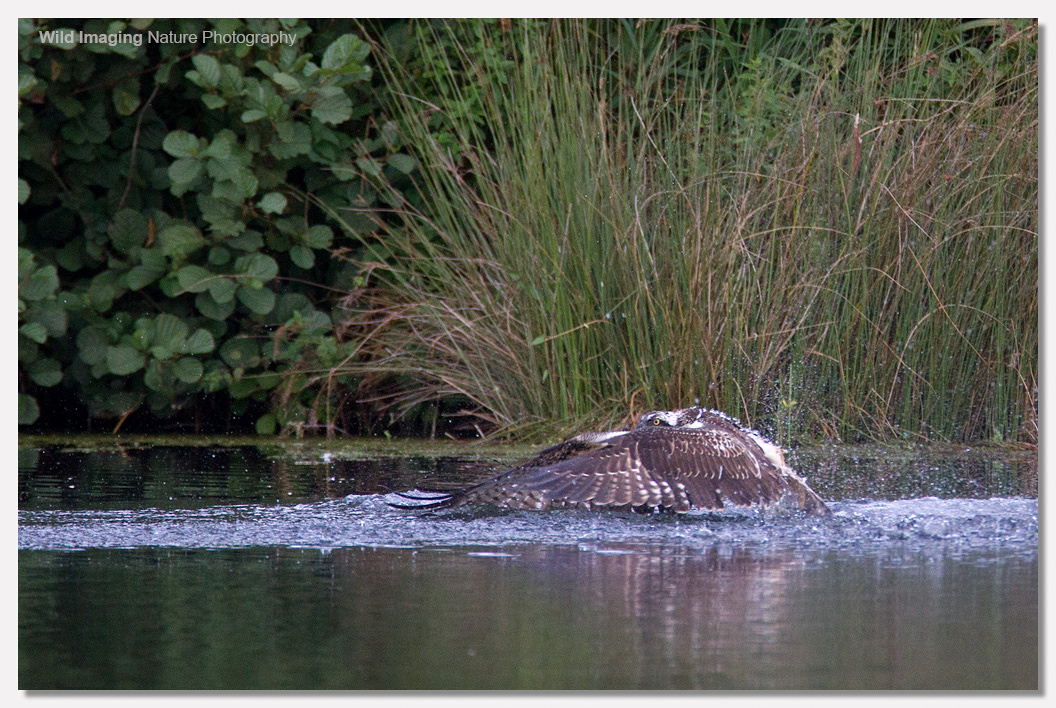 Osprey getting out of water