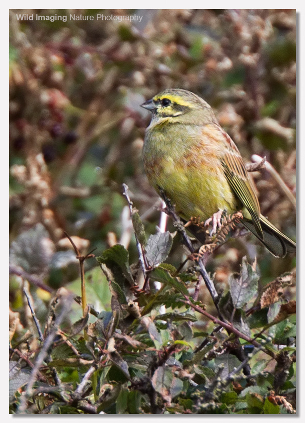 Cirl bunting at Prawle Point