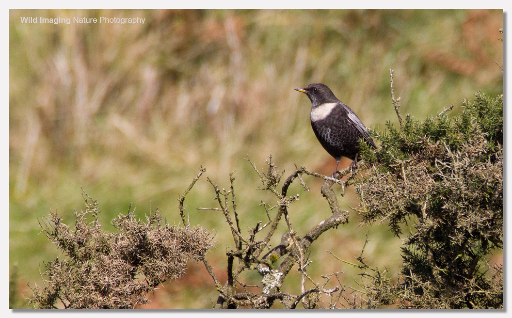 Male ring ouzel