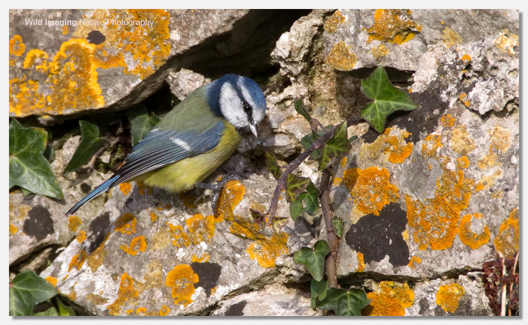 Blue Tit on Brean Down