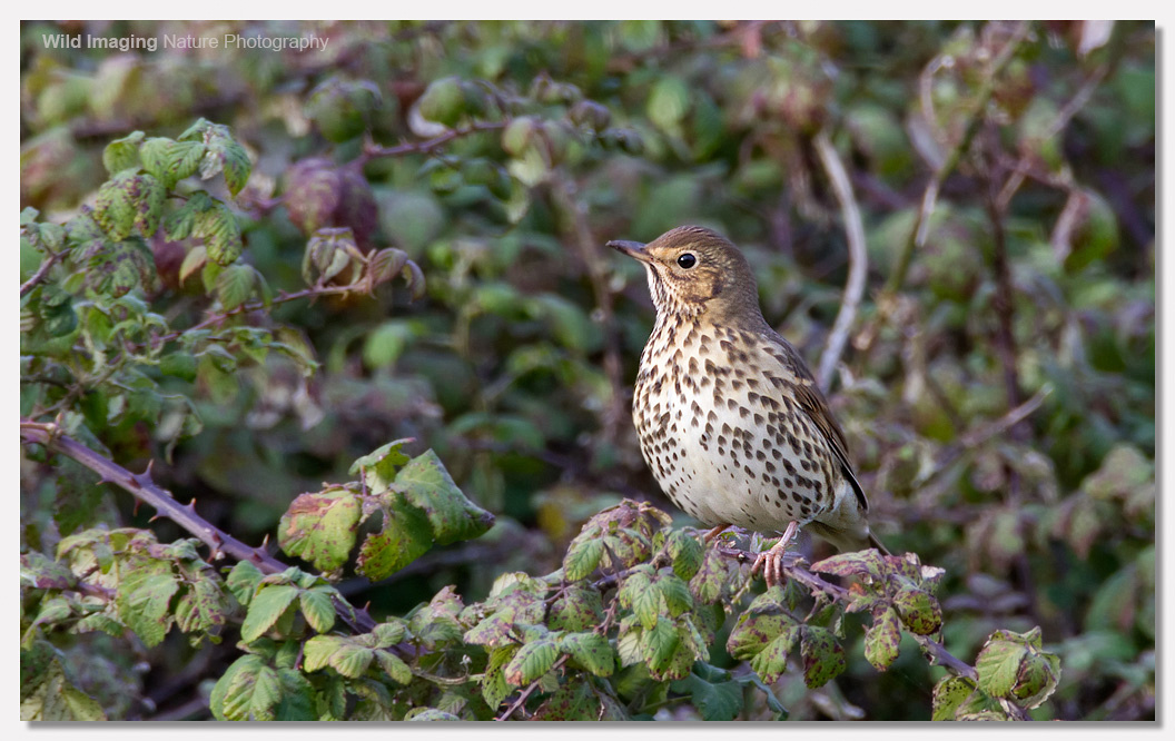 Song Thrush on Brean Down