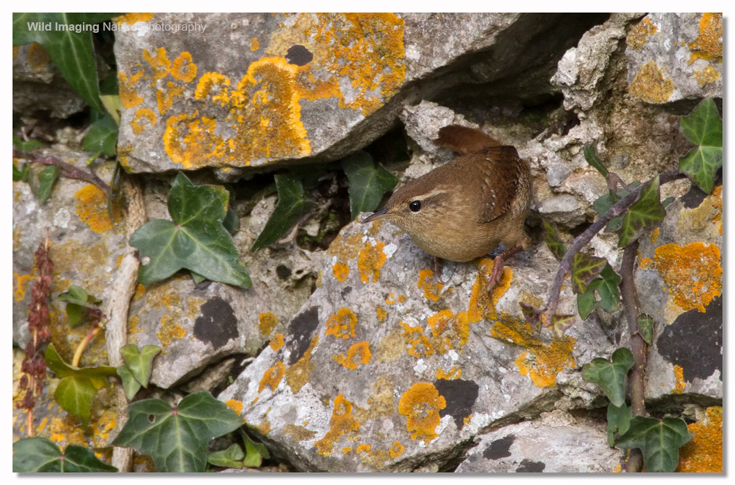Wren on Brean Down