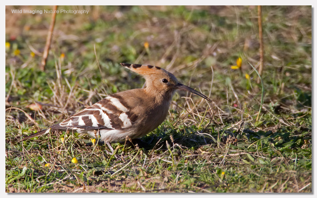 Hoopoe at Sand Bay 5