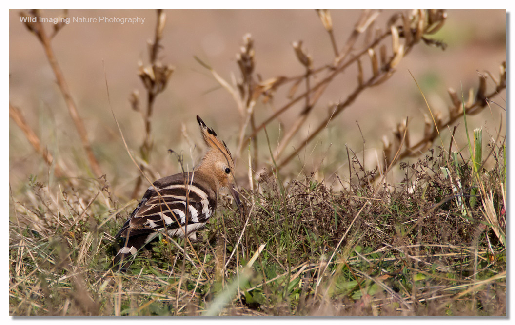 Hoopoe at Sand Bay 3