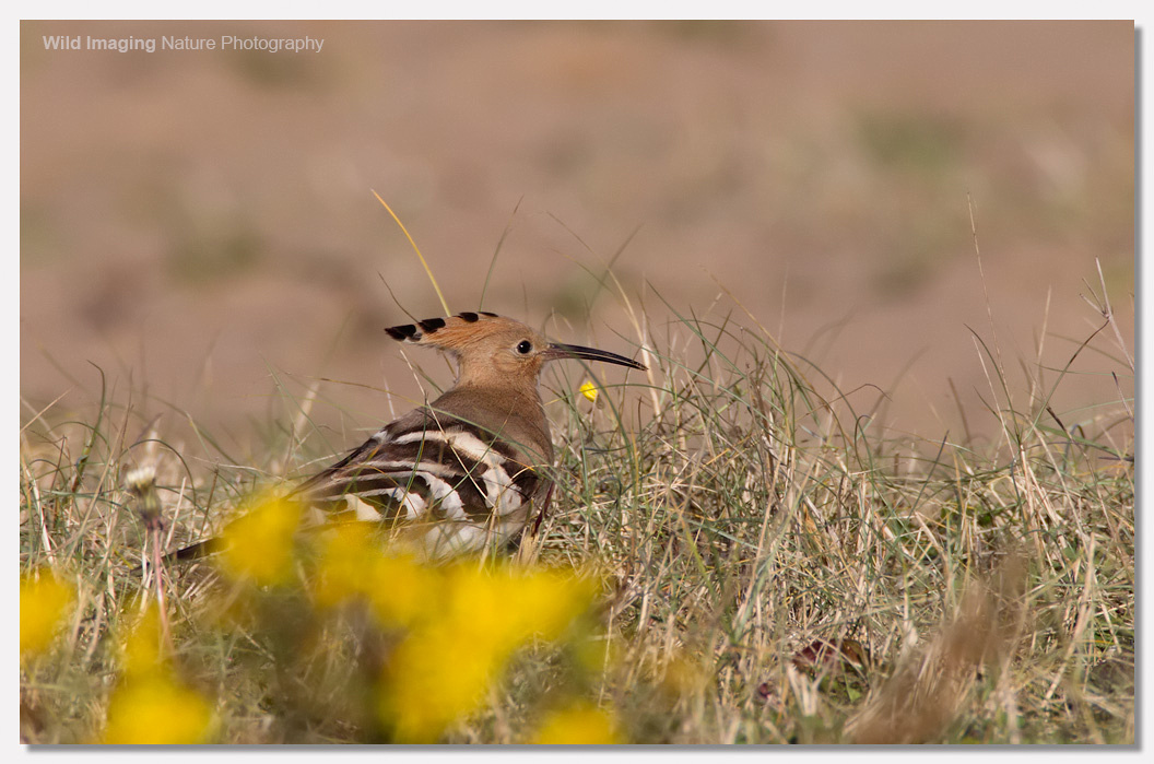 Hoopoe at Sand Bay 4