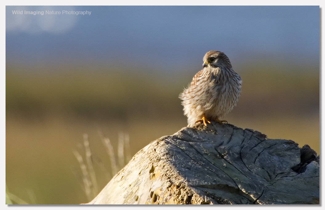 Kestrel backlit