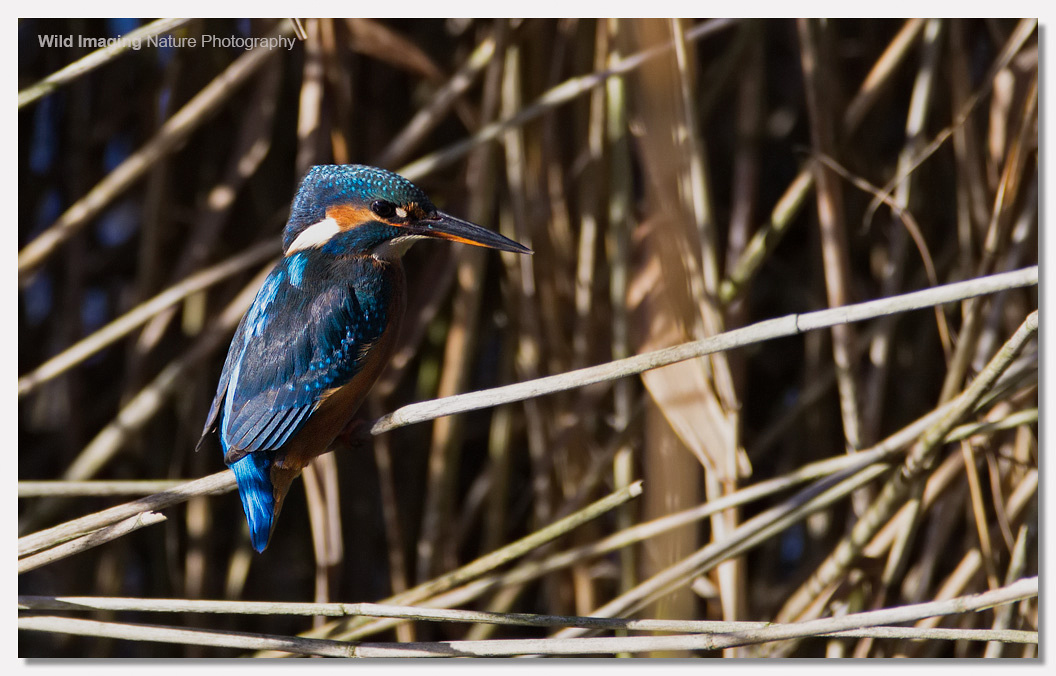 Kingfisher at Noah