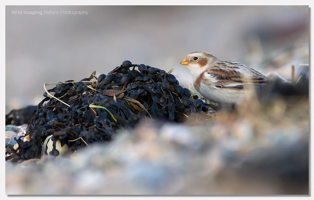 Snow Bunting Severn Beach 2