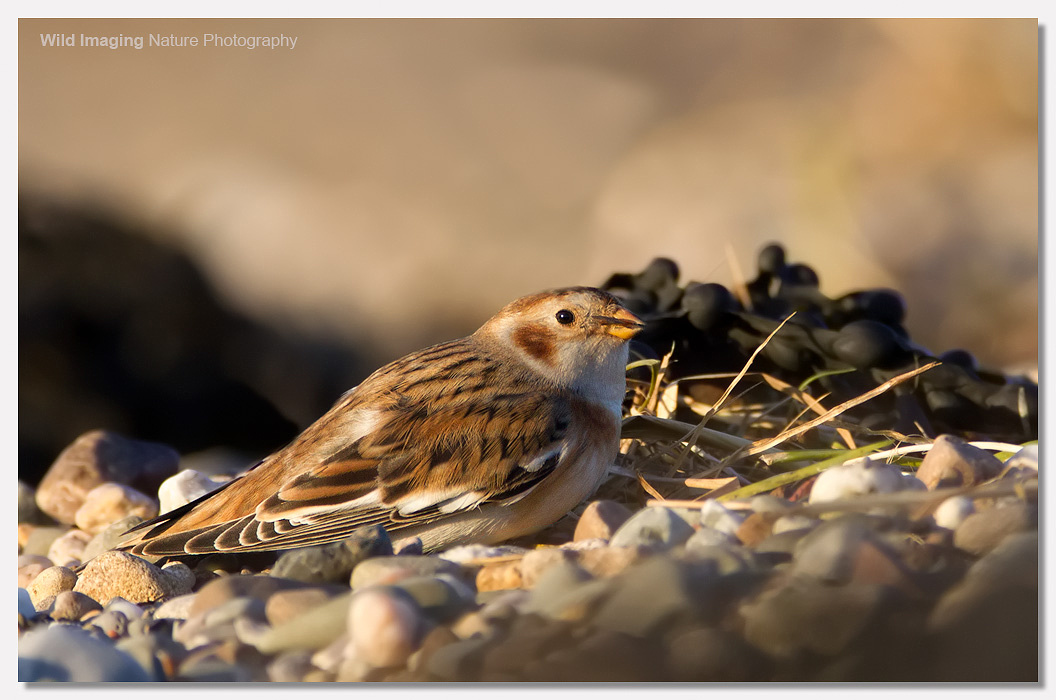 Snow Bunting Severn Beach 1