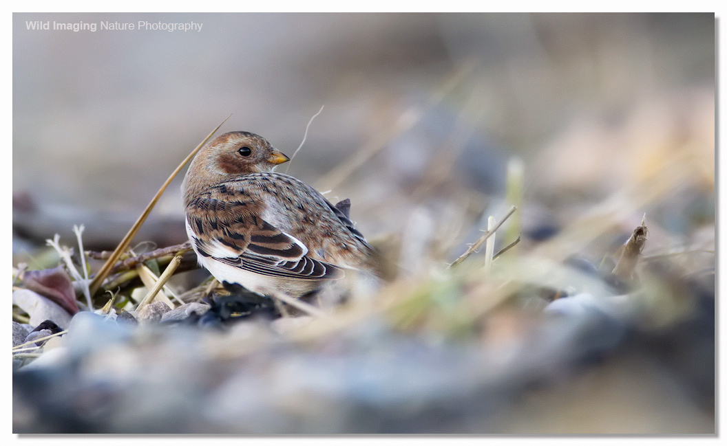 Snow Bunting Severn Beach 3