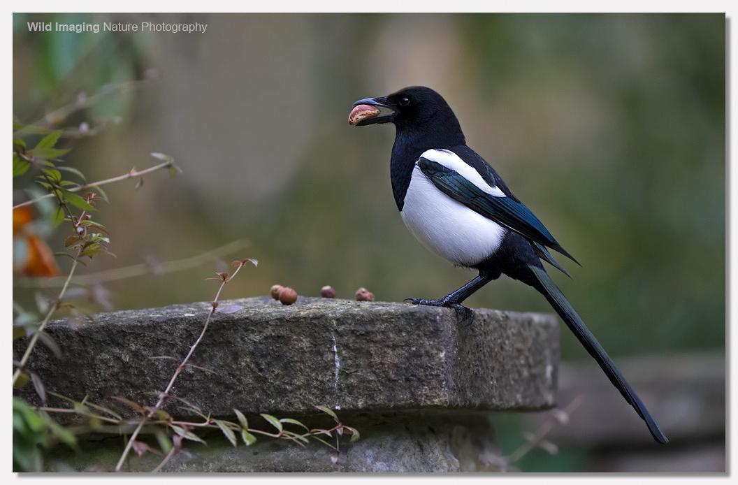 Magpie in Botanical Gardens, Bath