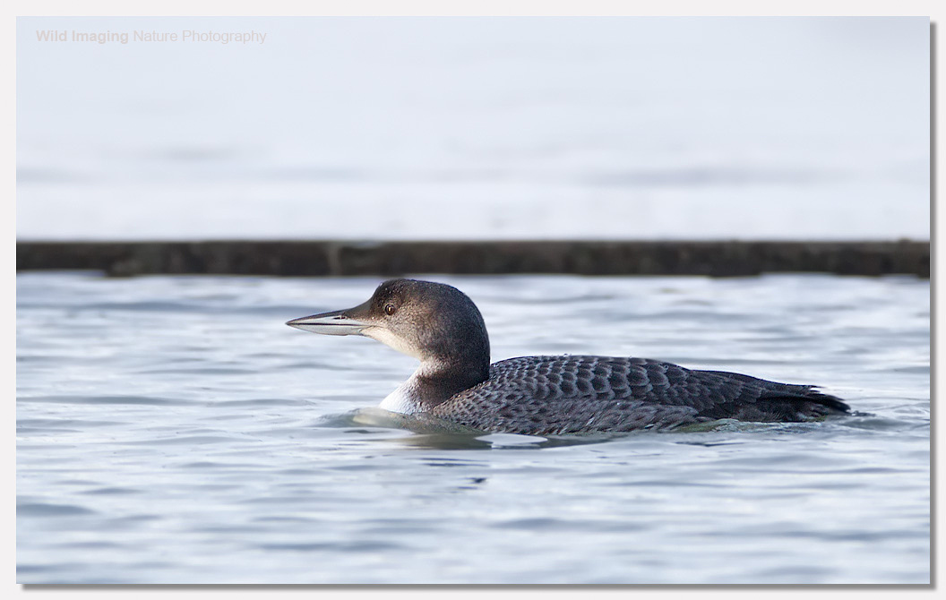 Great northern diver Wewston-super-Mare