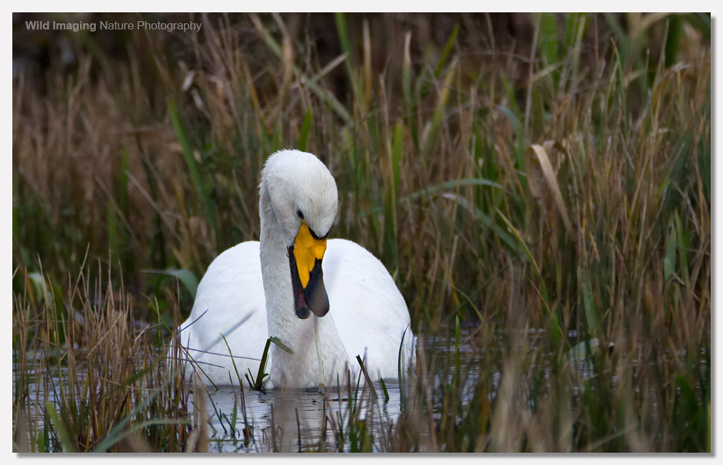 Whooper Swan at Catcott Lows 3