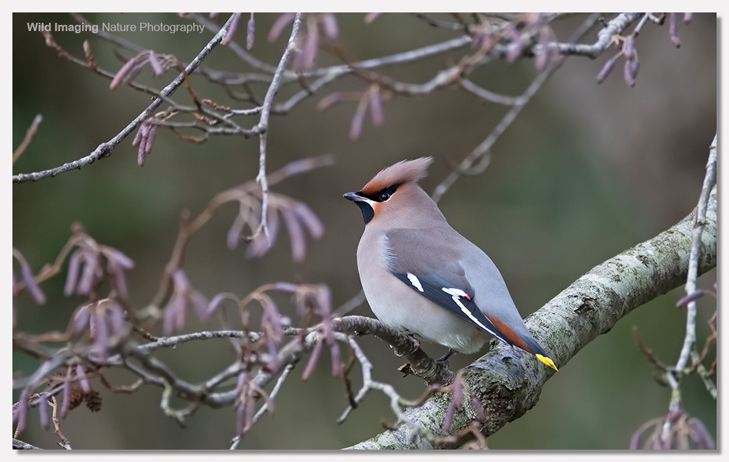 Waxwings at Ashcott Corner 2