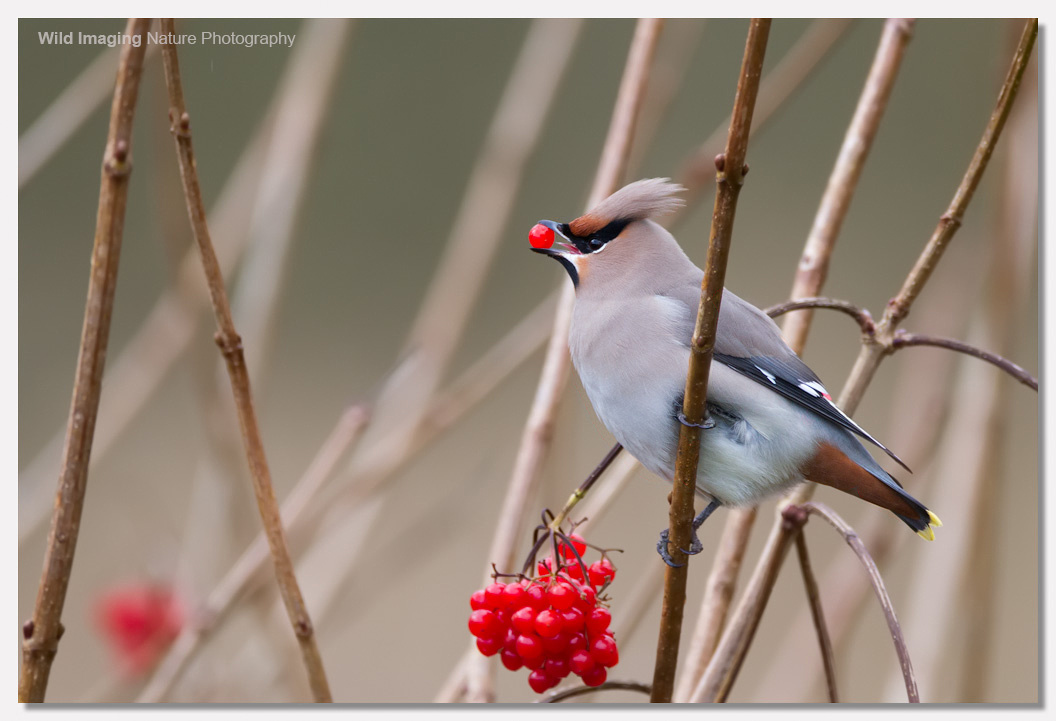 Waxwings at Ashcott Corner 3