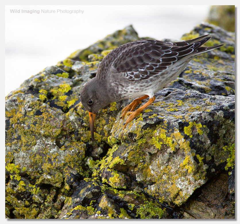 Purple Sandpiper at Batter Point 1