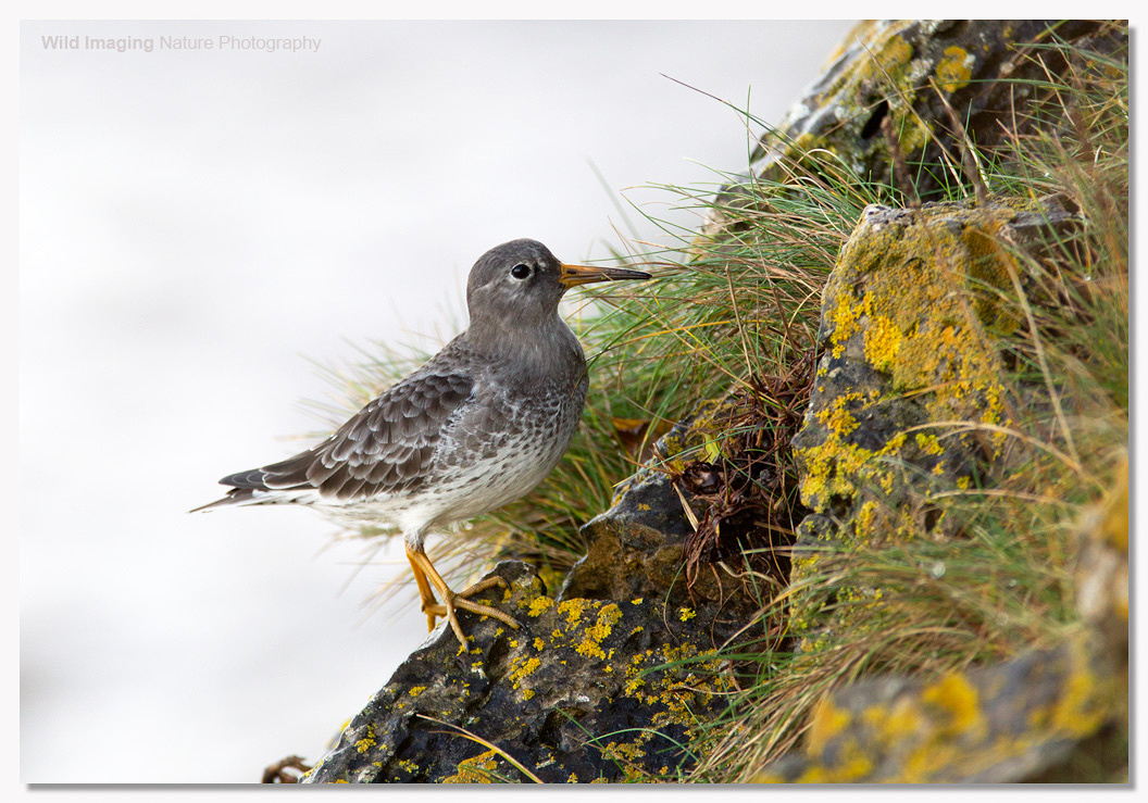 Purple Sandpiper at Batter Point 3
