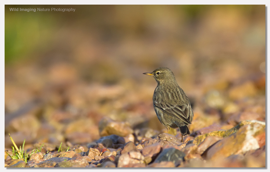 Rock Pipit at Battery Point