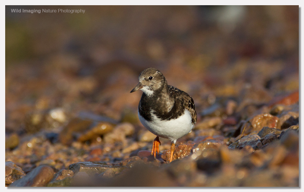 Turnstone at Battery Point 2
