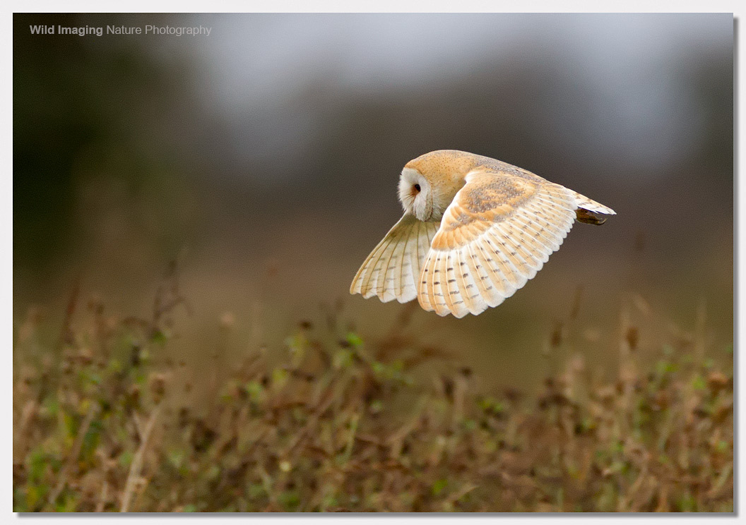 Barn Owl at Steart 1