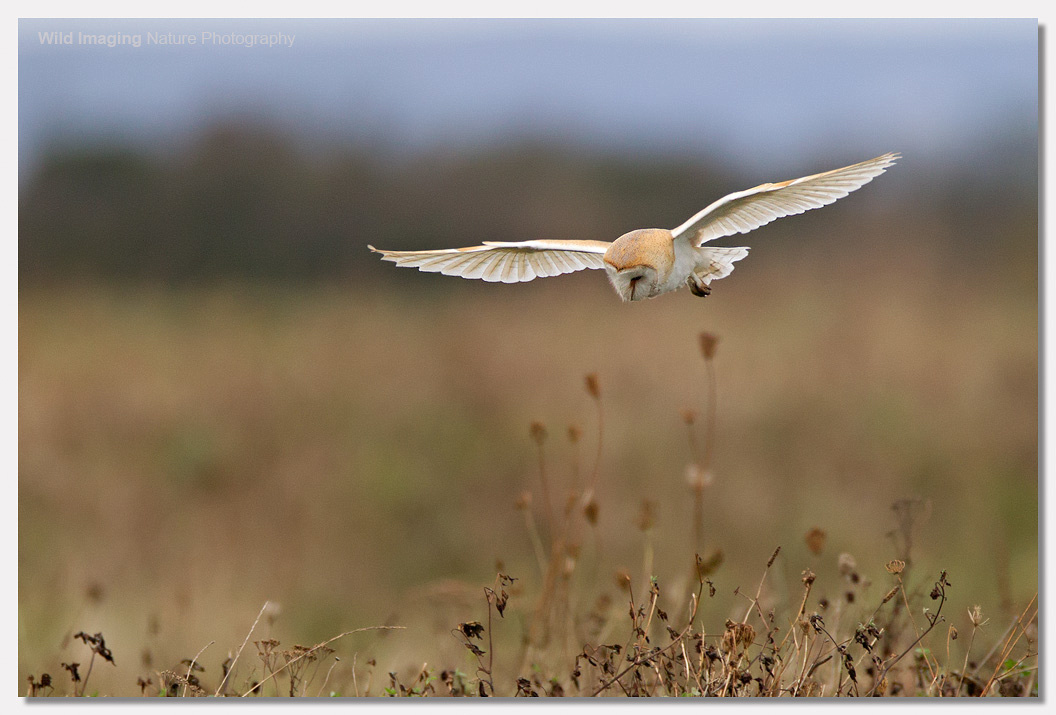 Barn Owl at Steart 3