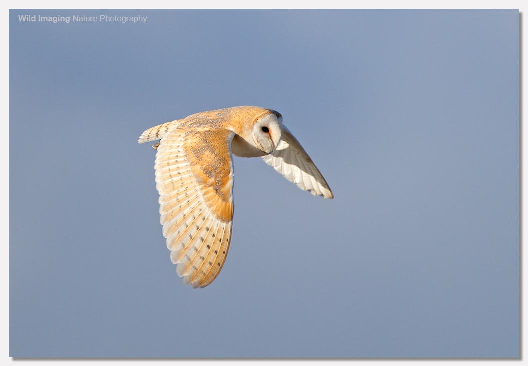 Barn Owl in Sunshine 1