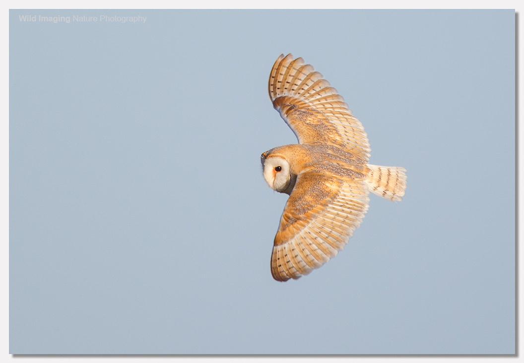 Barn Owl in Sunshine 3