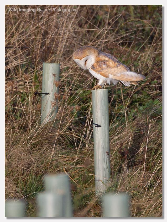 Barn Owl in Sunshine 5