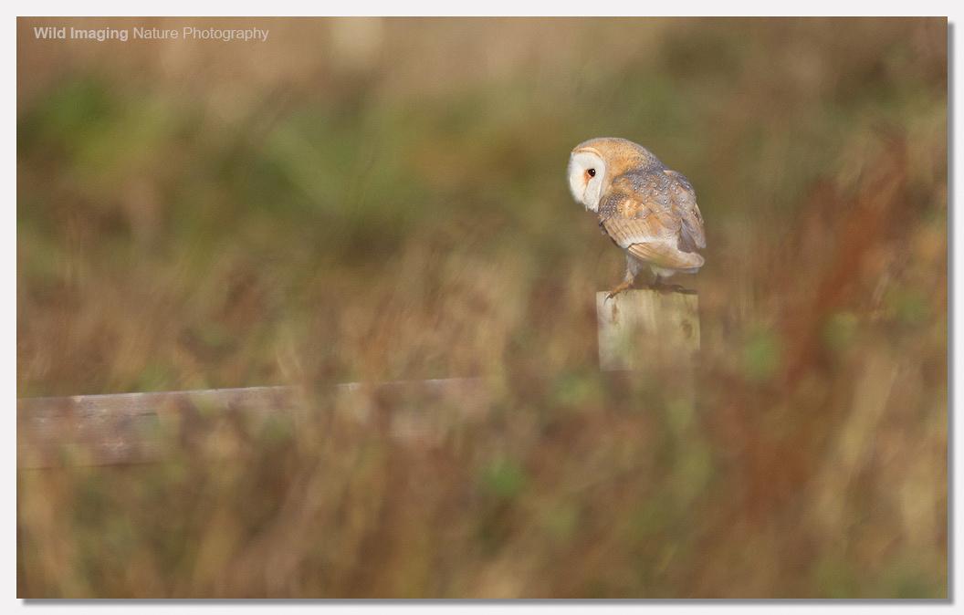 Barn Owl in Sunshine 4