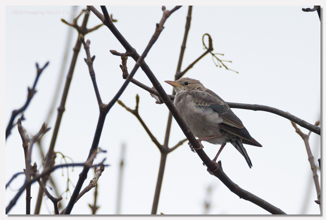 Rose-coloured Starling, Exminster 2
