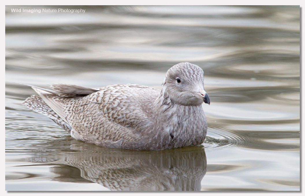 Glaucous Gull, Apex Lake, Burnhamn-on-Sea 3