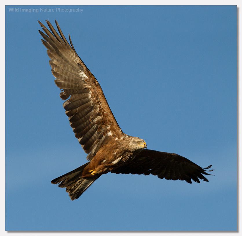 Black Kite 1