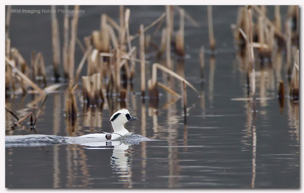 Smew at Shapwick Heath NNR 1