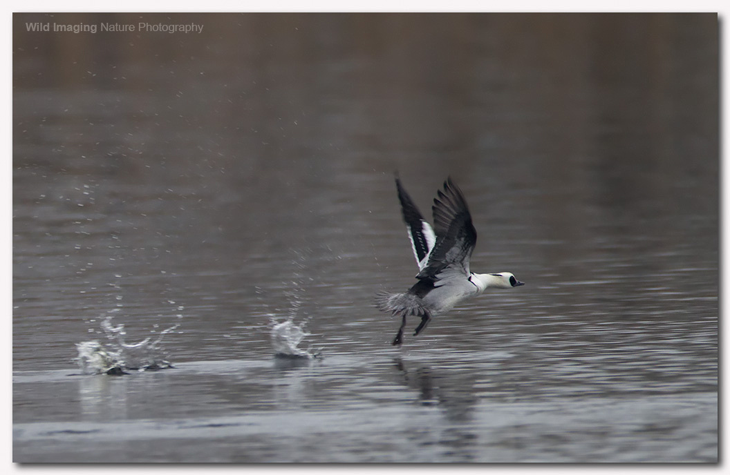 Smew at Shapwick Heath NNR 4