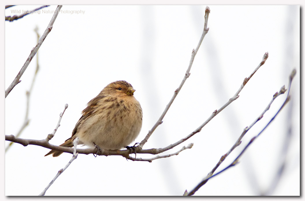 Twite at Aust Warth 2