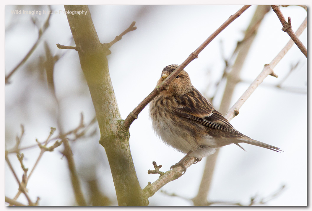 Twite at Aust Warth 1