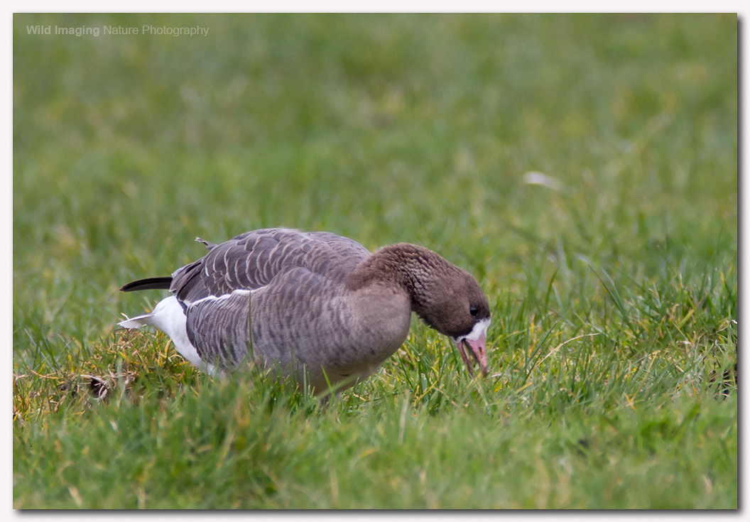 White Fronted Goose 1