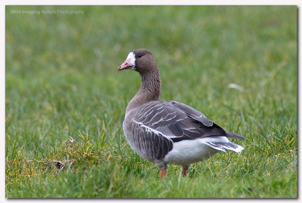 White Fronted Goose 3