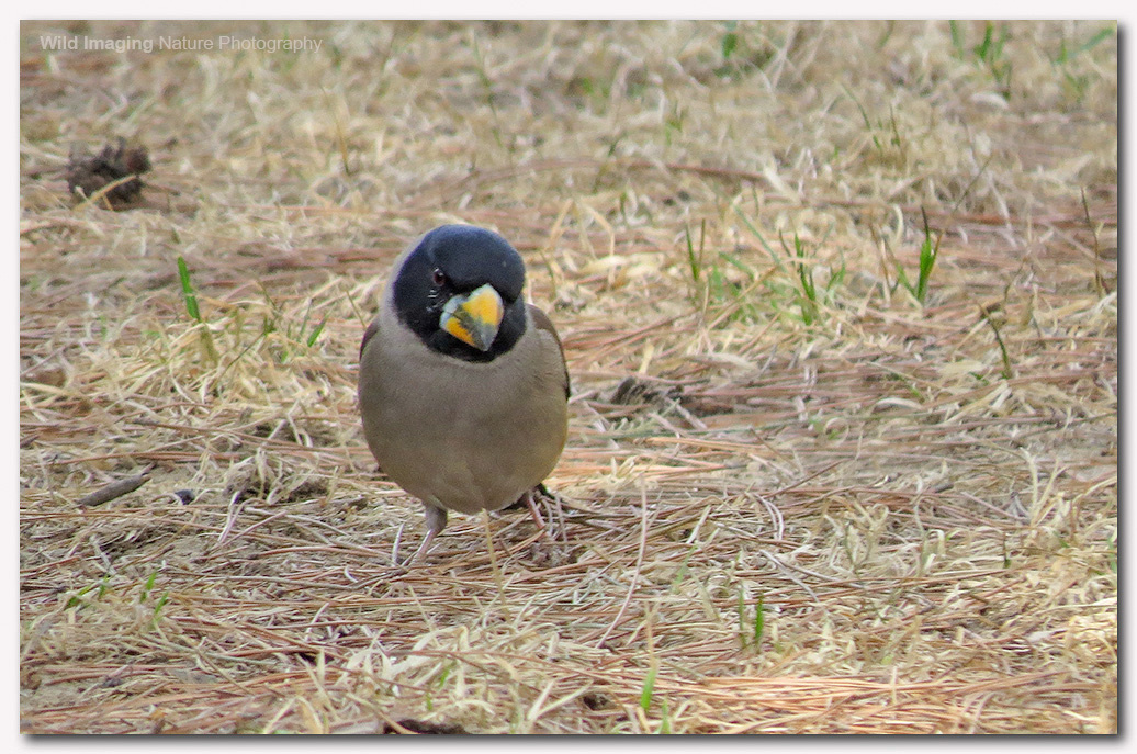 Chinese grosbeak 2