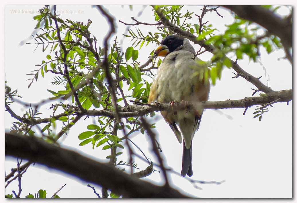 Chinese grosbeak 3