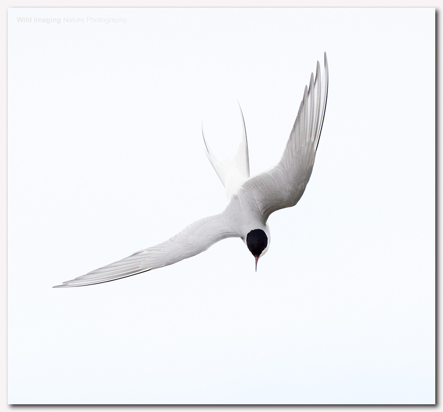 Arctic tern 5