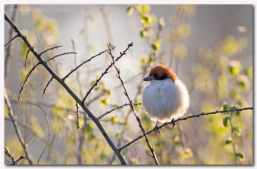 Woodchat shrike 2