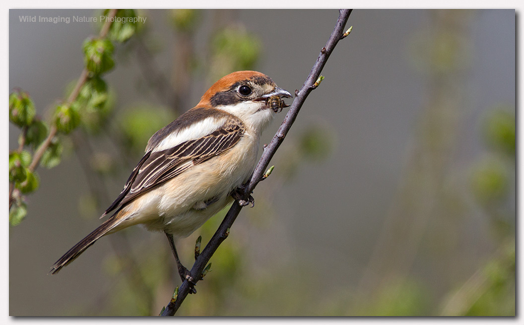 Woodchat shrike 3