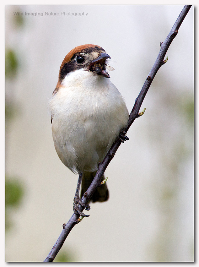 Woodchat shrike 5